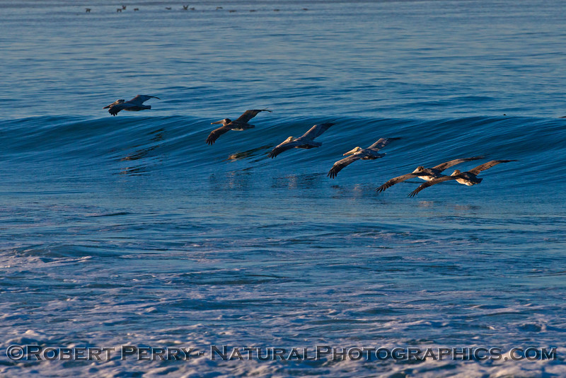 A squadron of brown pelicans (<em>Pelecanus occidentalis</em>) catches an early morning wave.