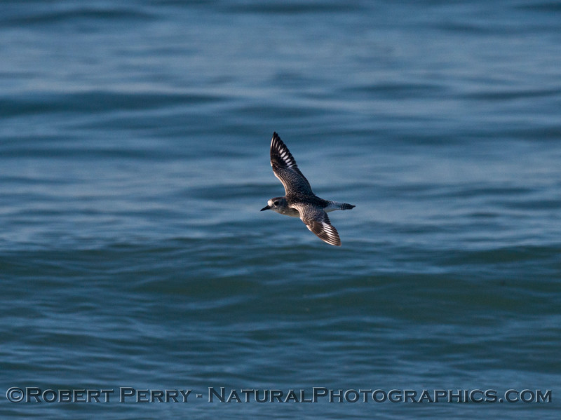 A black bellied plover (<em>Pluvialis squatarola</em>) is captured in flight.