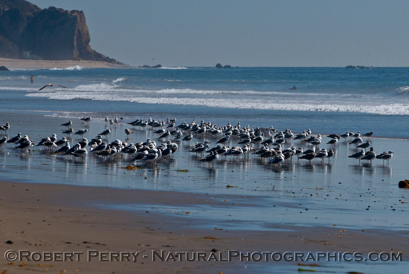 A mass of gulls (<em>Larus</em> sp.) are seen with their reflections on the wet, low tide sand.  Point Dume is in the back.