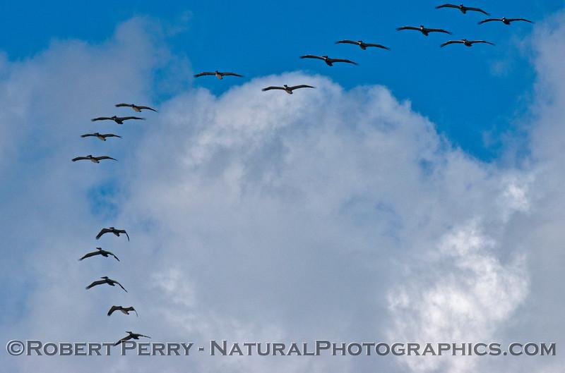 Flock of brown pelicans (<em>Pelecanus occidentalis</em>) like stitches on the seam of a baseball.