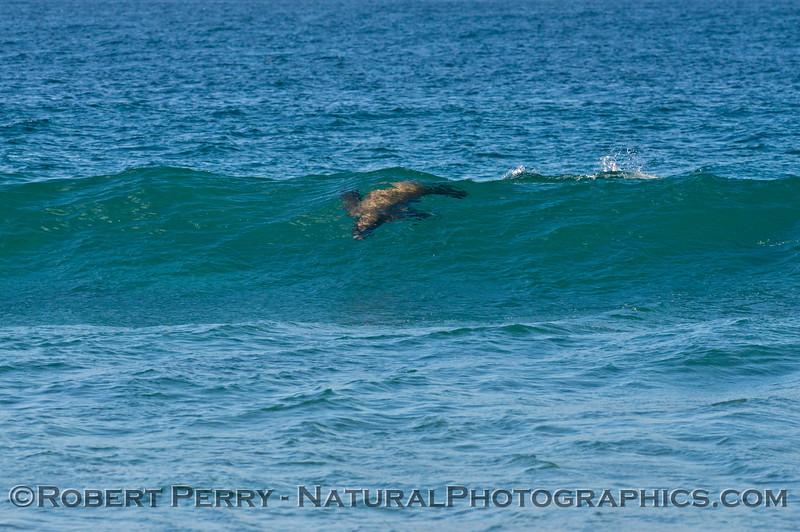 1 of an 8 shot sequence:   a California sea lion (<em>Zalophus californianus</em>) surfs a wave and ends up chasing, then catching a grunion.