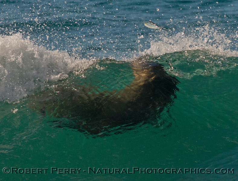 7 of an 8 shot sequence:   a California sea lion (<em>Zalophus californianus</em>) surfs a wave and ends up chasing, then catching a grunion.