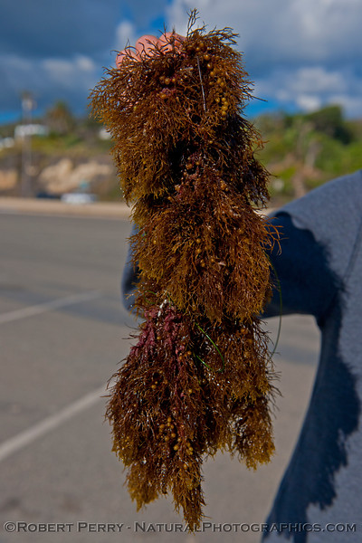 Ian finds a Zuma record-sized (<em>Sargassum</em> sp.) plant.