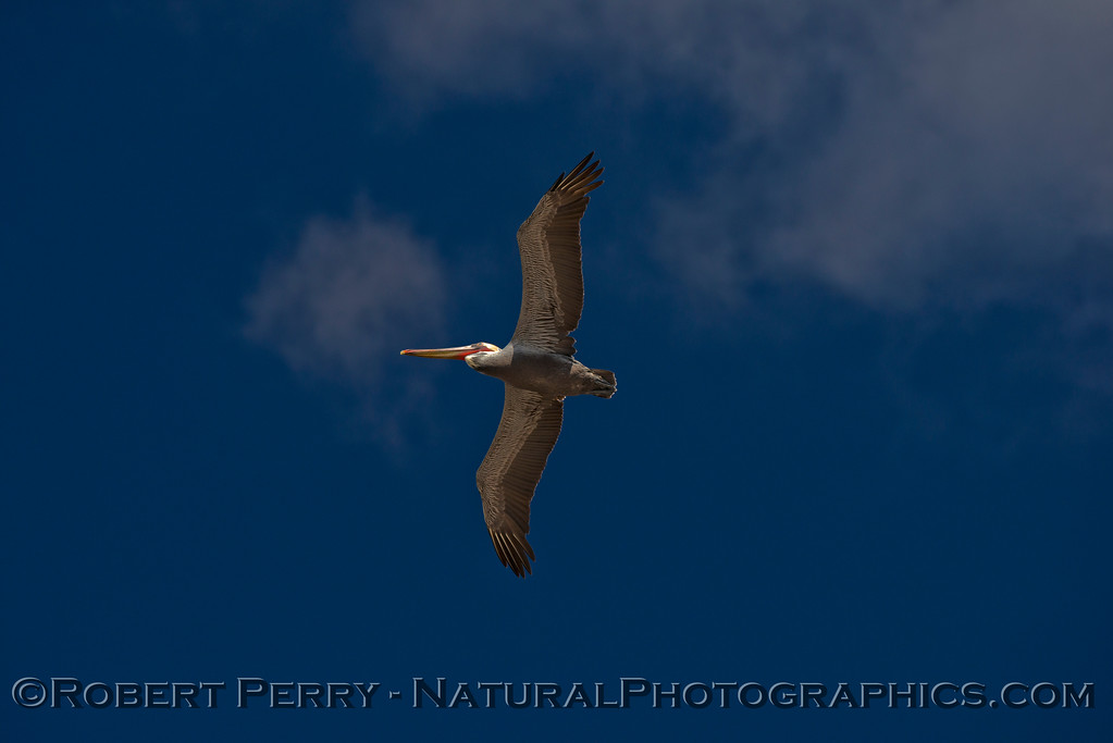 Looking up at the blue sky as a brown pelican (<em>Pelecanus occidentalis</em>) flies directly overhead.