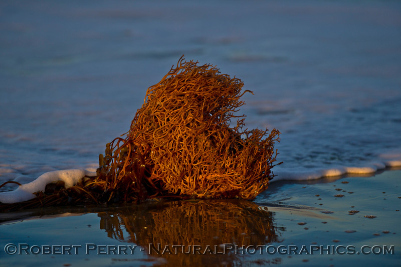 A moderate sized holdfast of giant kelp (<em>Macrocystis pyrifera</em>) washes ashore and casts a reflection on the wet sand.