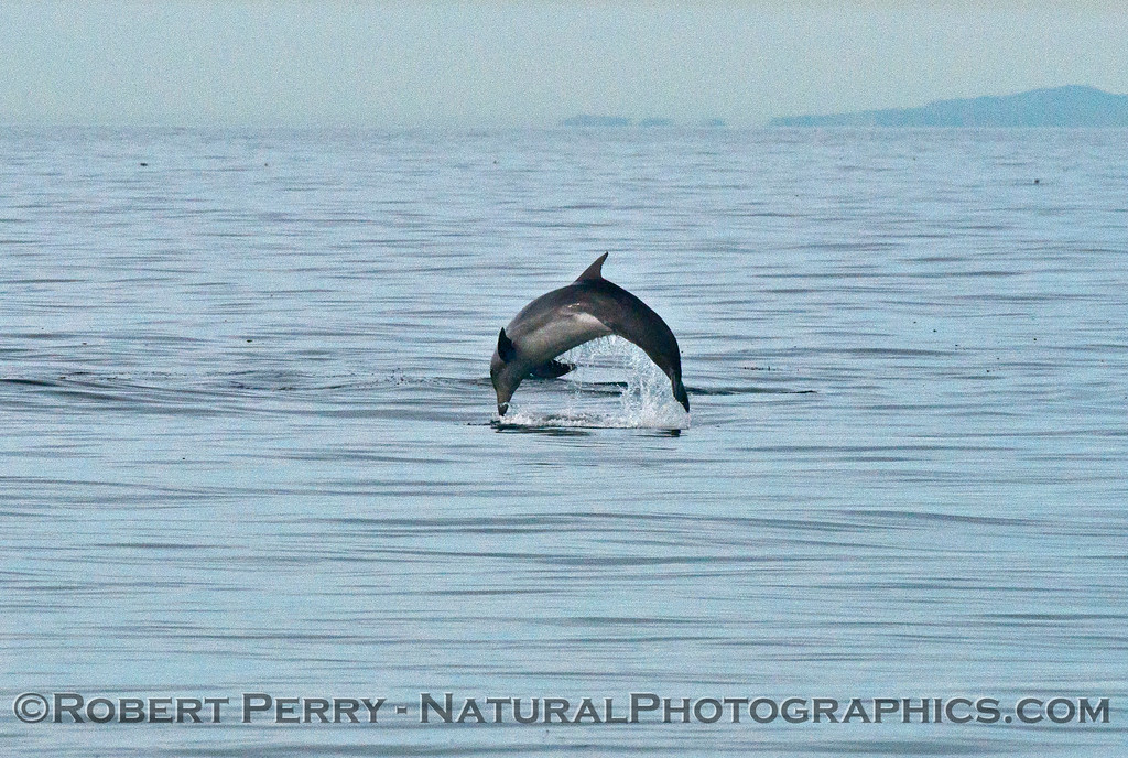 A breaching bottlenose dolphin (<em>Tursiops truncatus</em>) - part 2.