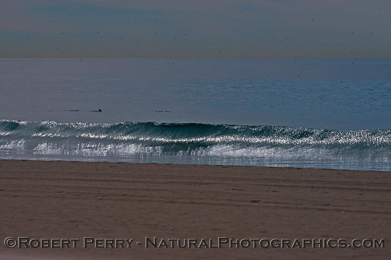 A glassy wave with bottlenose dolphins (<em>Tursiops truncatus</em>) in back.