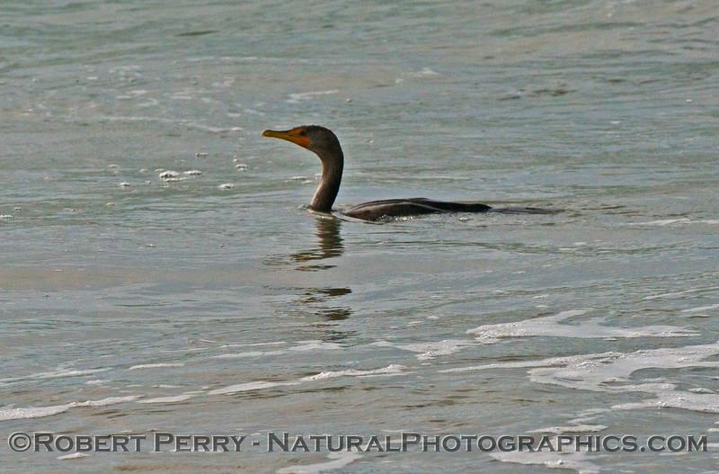 A living Brandt's cormorant (<em>Phalocrocorax penicillatus</em>) hunting in the surf zone.