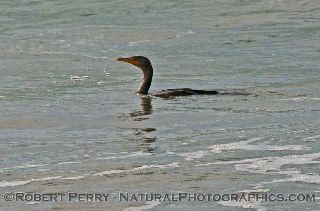 A living Brandt's cormorant (<em>Phalocrocorax penicillatus</em>) hunting in the surf zone.