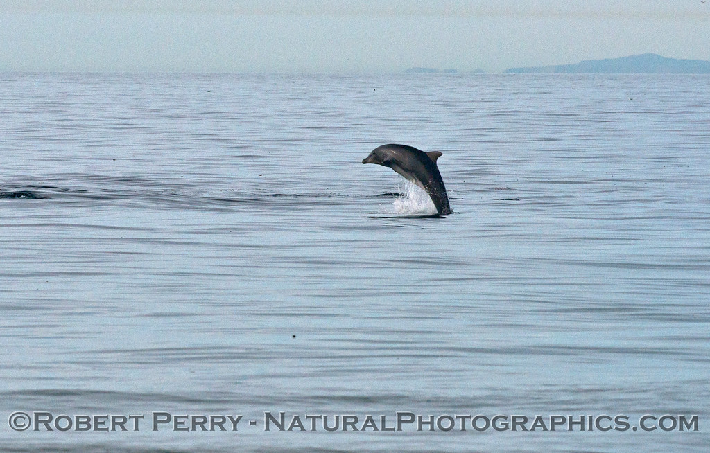 A breaching bottlenose dolphin (<em>Tursiops truncatus</em>).