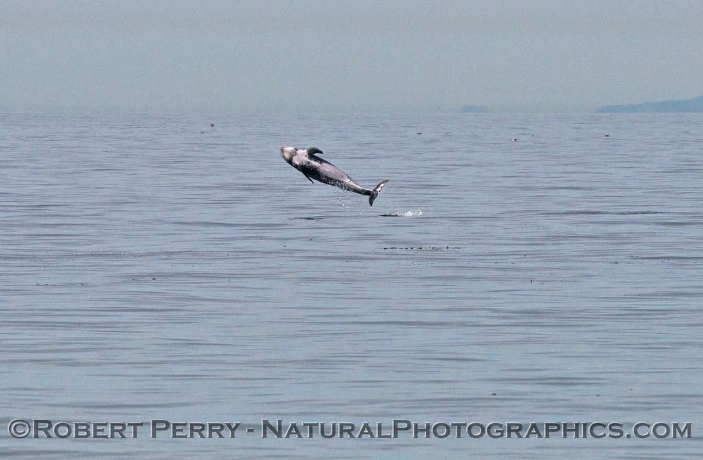 Image sequence:  shot #4 of 4 - A Risso's dolphin (<em>Grampus griseus</em>), a very rare sighting off the beach at Zuma, is seen breaching several times in a row.