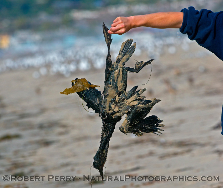 A deceased Brandt's cormorant (<em>Phalocrocorax penicillatus</em>) found washed up on the beach.
