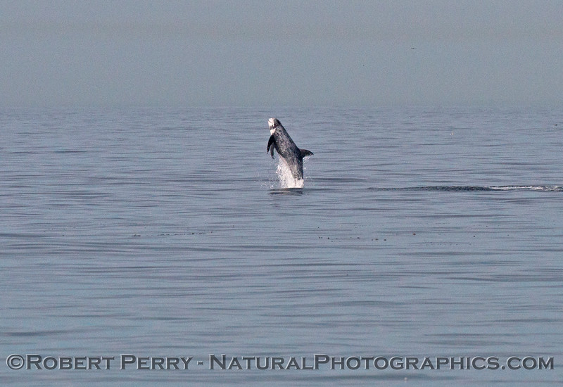 Image sequence:  shot #1 of 4 - A Risso's dolphin (<em>Grampus griseus</em>), a very rare sighting off the beach at Zuma, is seen breaching several times in a row.