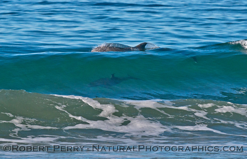 Two bottlenose dolphins (<em>Tursiops truncatus</em>) one down inside the wave, and the other just leaving up top.