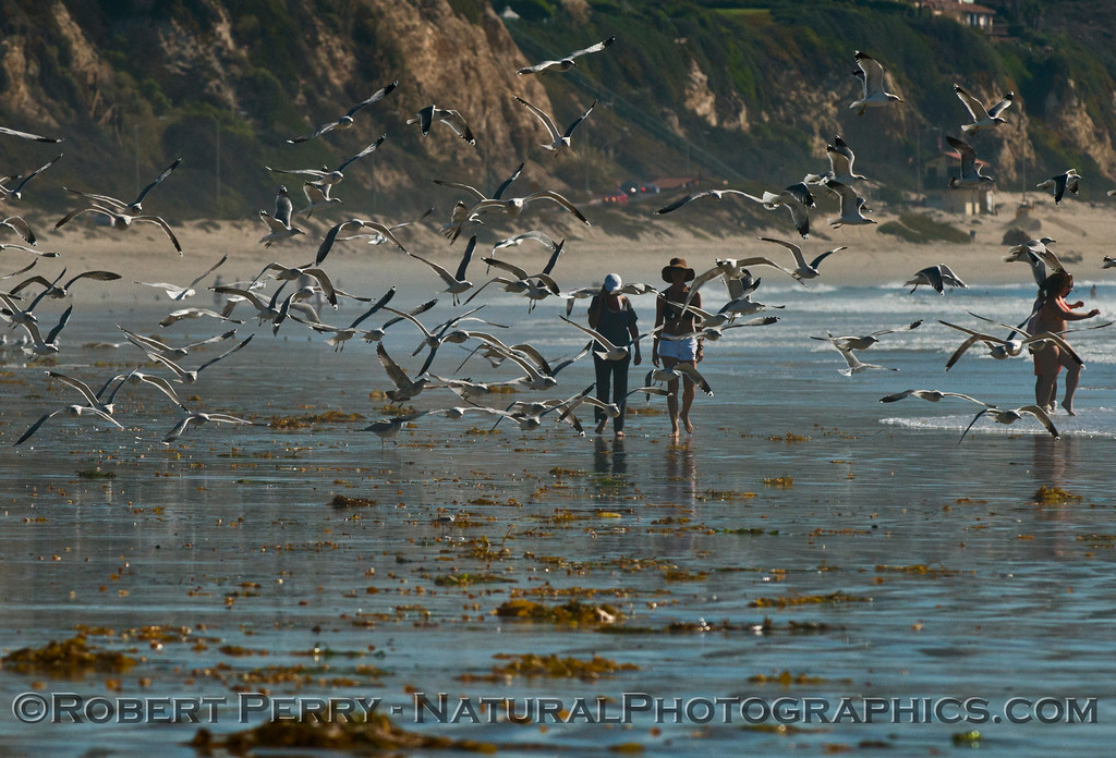 Masses of gulls (<em>Larus</em> sp.) scatter as low tide beach walkers move into their territory.