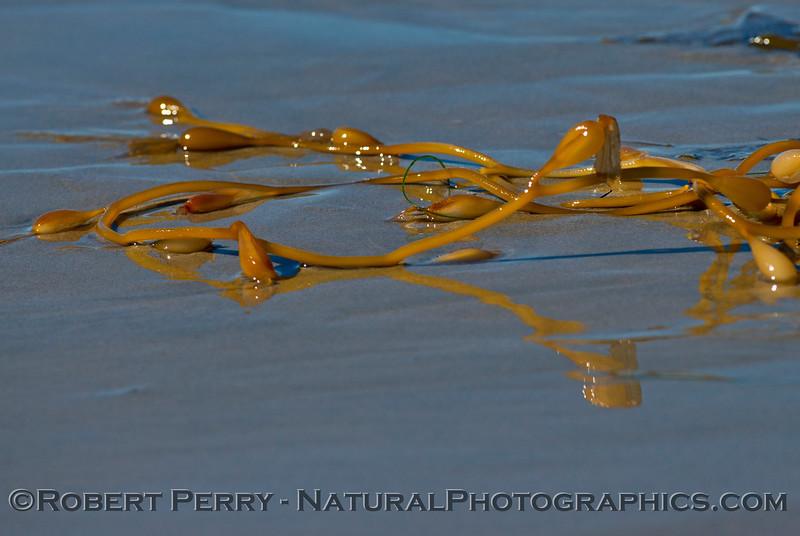 Interesting stipe reflections from giant kelp debris (<em>Macrocystis pyrifera</em>) on the wet sand.