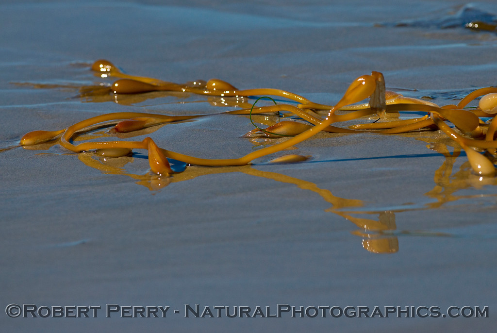 Interesting stipe reflections from giant kelp debris (<em>Macrocystis pyrifera</em>) on the wet sand.