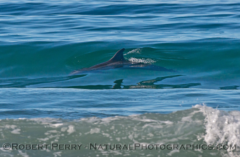 One of a series of images showing bottlenose dolphins (<em>Tursiops truncatus</em>) in the surf zone..  Here we see a dolphin cruising inside the surf in a series that shows the animal gently riding up the wave as it passes by.