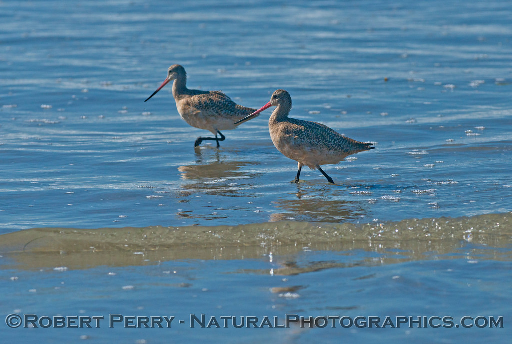 Two marbled godwits (<em>Limosa fedoa</em>) foraging in shallow water.