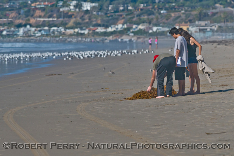Student researchers examine some macrophyte wrack at low tide.