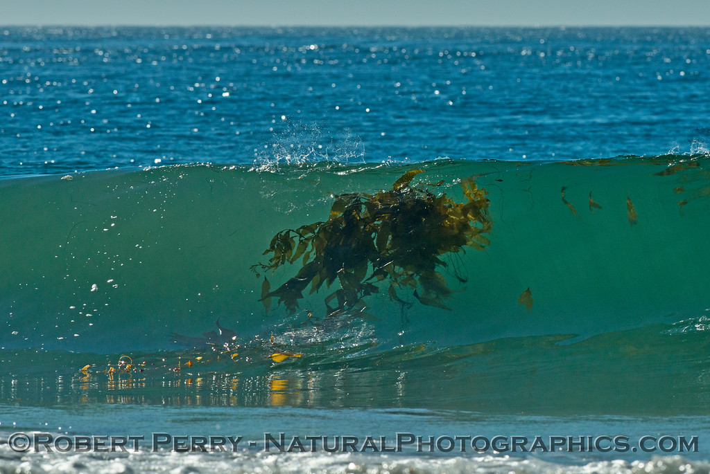 A drifting paddy of giant kelp (<em>Macrocystis pyrifera</em>) takes its final ride on a wave heading for the beach.