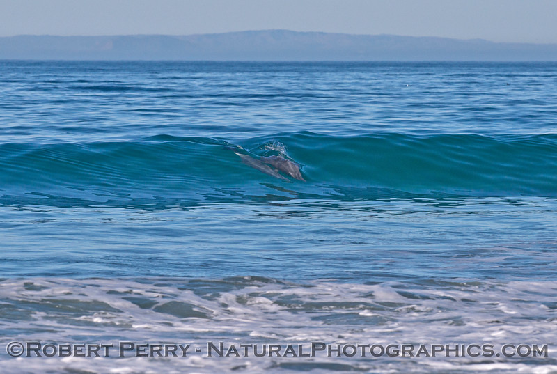 Three bottlenose dolphins (<em>Tursiops truncatus</em>) in the surf zone riding a wave.