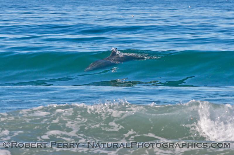 A single bottlenose dolphin (<em>Tursiops truncatus</em>) in the surf zone riding a wave.
