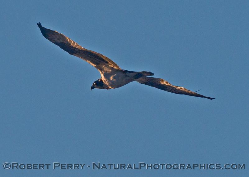 Pandion haliaetus in flight 2013 12-12 Zuma - 008