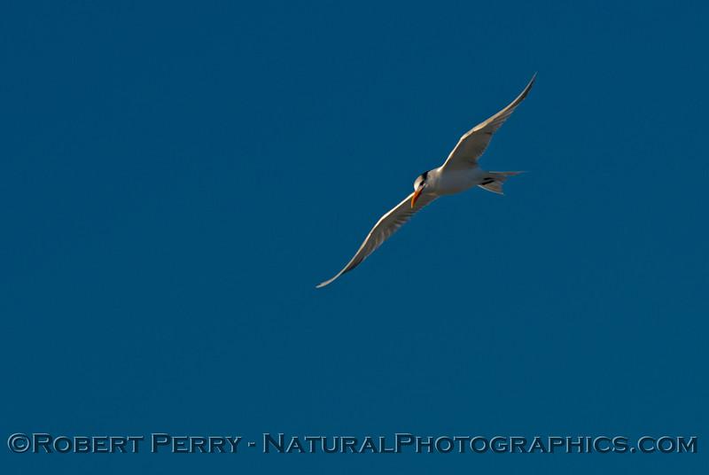 Sterna elegans in flight 2013 12-12 Zuma - 017