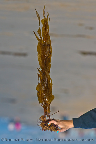 Giant kelp Brown (<em>Macrocystis pyrifera</em>) turned right side up.