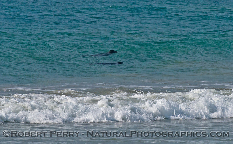 Two Pacific harbor seals (<em>Phoca vitulina</em>) in the surf zone...proving there is more than one living near Zuma Beach.
