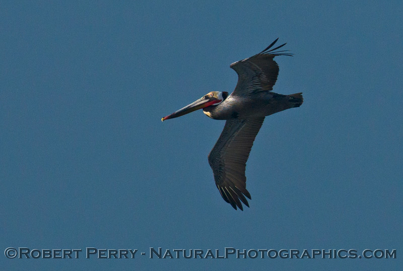 Brown pelican (<em>Pelecanus occidentalis</em>) in flight.