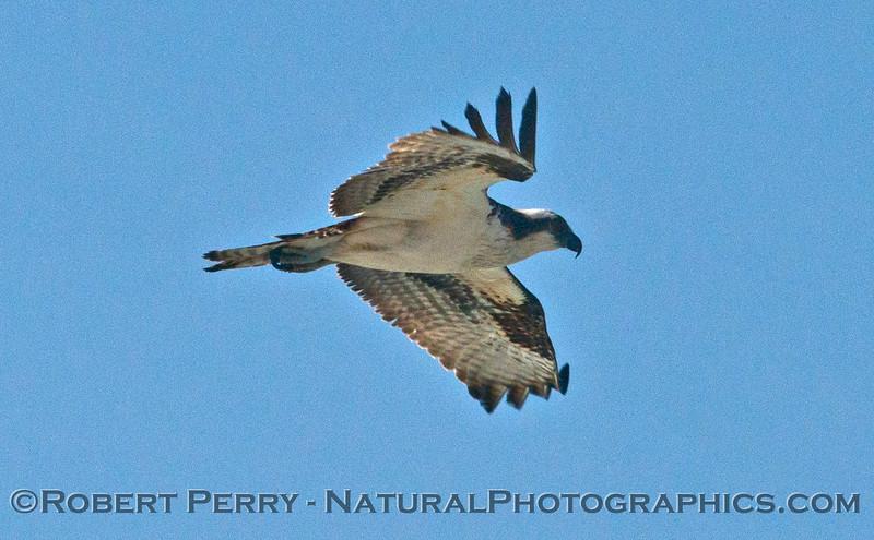 Pandion haliaeetus in flight 2014 02-20 Zuma--011