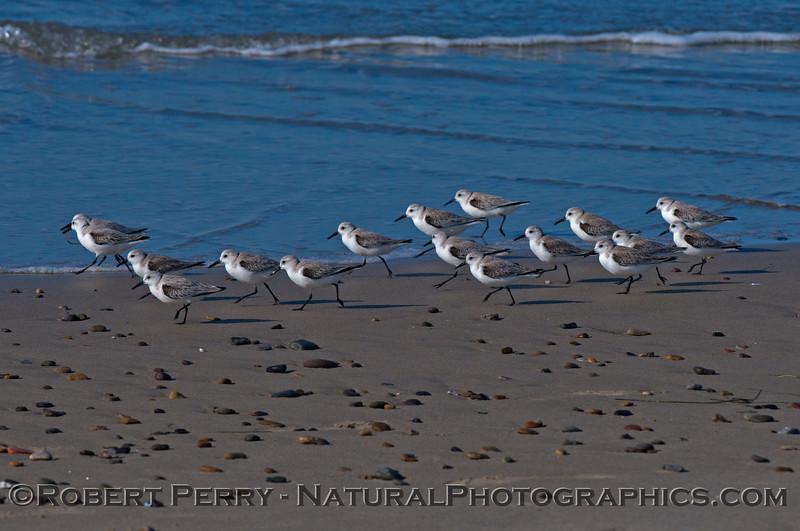 Calidris alba flock on wet sand 2014 02-20 Zuma--014