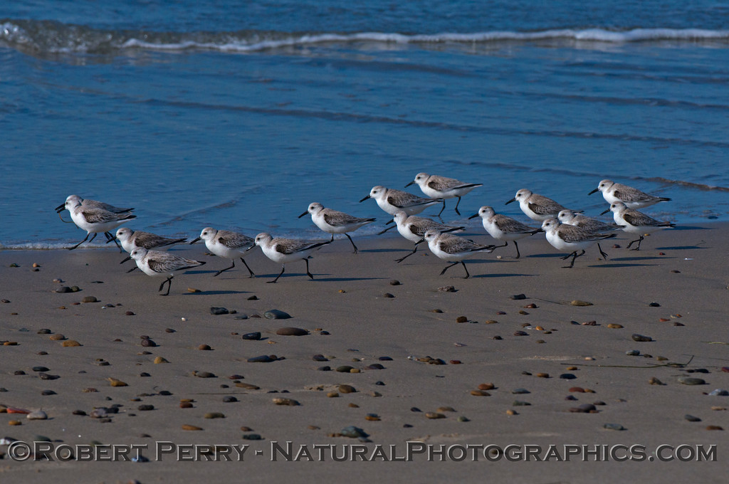 Calidris alba flock on wet sand 2014 02-20 Zuma--014