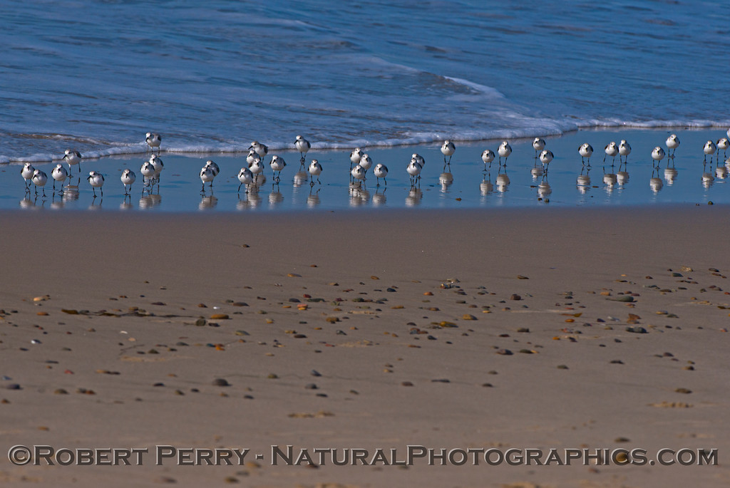 Calidris alba flock on wet sand 2014 02-20 Zuma--011