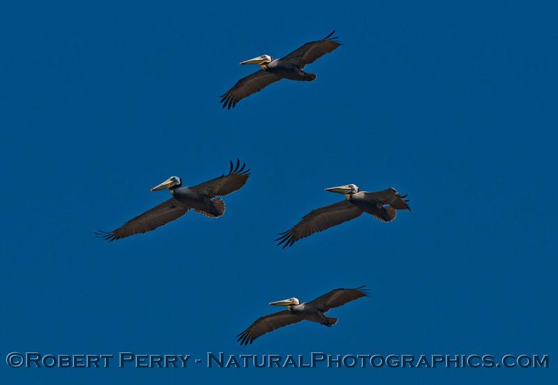 Pelecanus occidentalis in flight 2014 03-06 Zuma--a-017