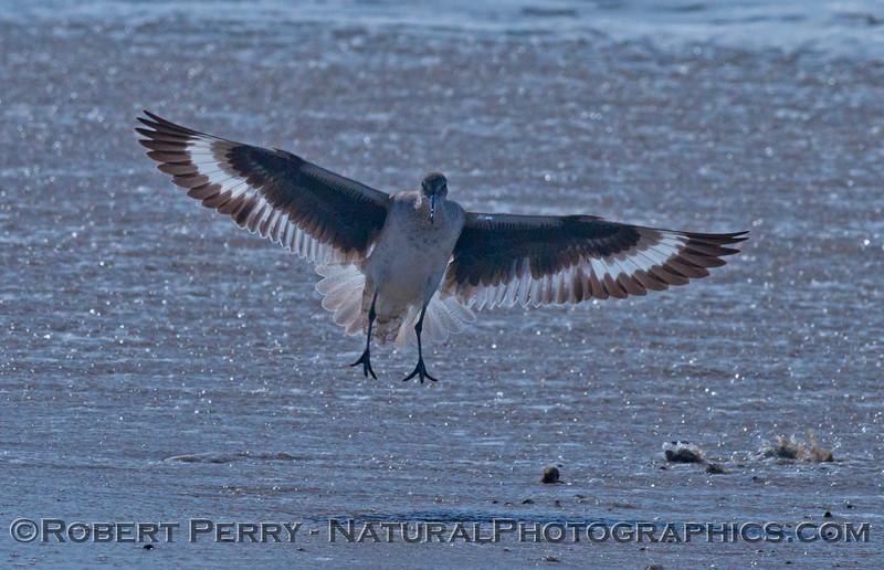 Tringa semipalmata landing on sand 2014 03-20-Zuma-004