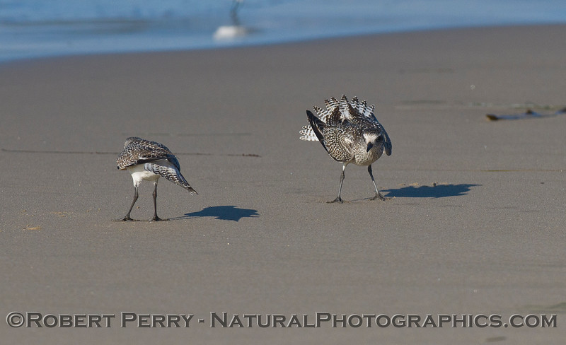 Black-Bellied Plover (<em>Pluvialis squatarola</em>)  mating sequence.