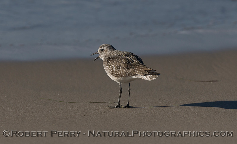 A Black-Bellied Plover (<em>Pluvialis squatarola</em>) sends out a call.