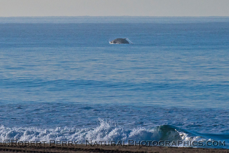 Image 2 of 3:  A southbound gray whale (<em>Eschrichtius robustus</em>) breaches in the morning.
