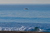 Image 2 of 3:  A southbound gray whale (Eschrichtius robustus) breaches in the morning.