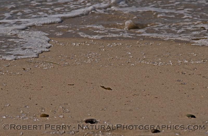 Masses of stranded planktonic gelatinous zooplankton coat the tideline up and down Zuma Beach.
