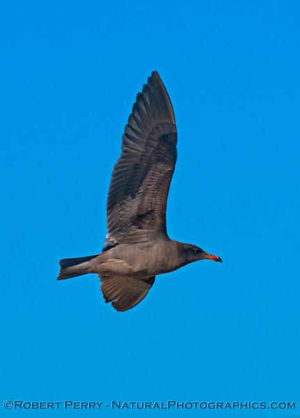 Juvenile Heermann's gull, <em>Larus heermanni</em>.