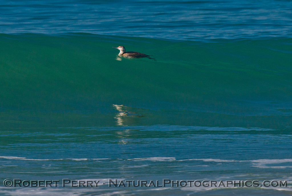 A Pacific loon (<em>Gavia pacifica</em>) glides up the face of a glassy wave.