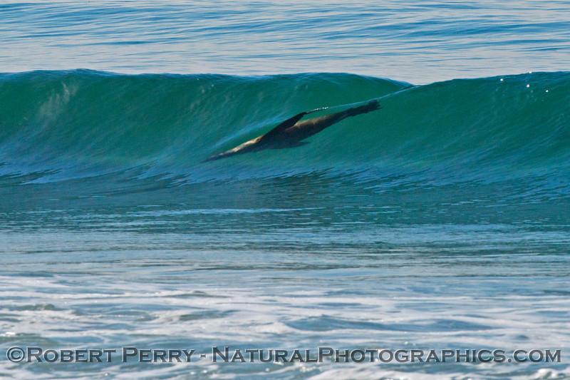 A California sea lion (<em>Zalophus californianus</em>) surfing a glassy wave.