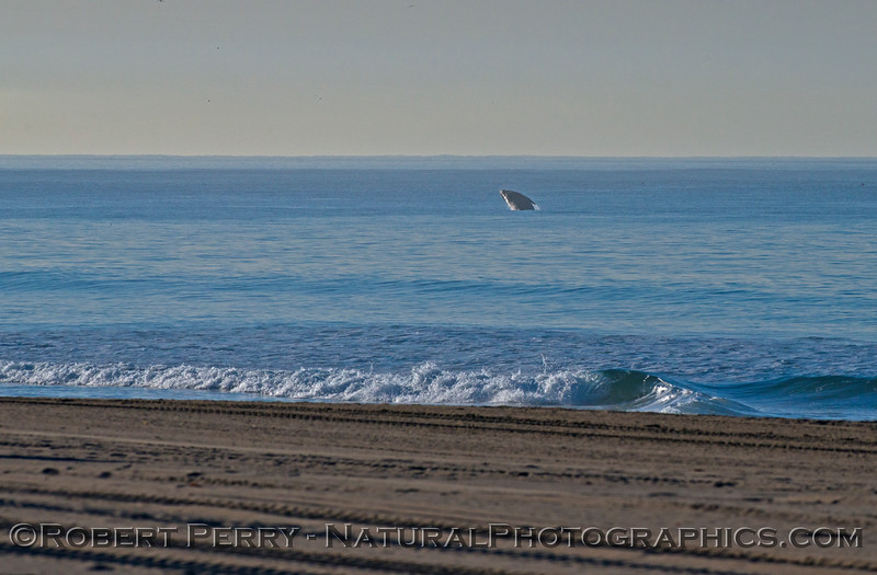 Image 1 of 3:  A southbound gray whale (<em>Eschrichtius robustus</em>) breaches in the morning.