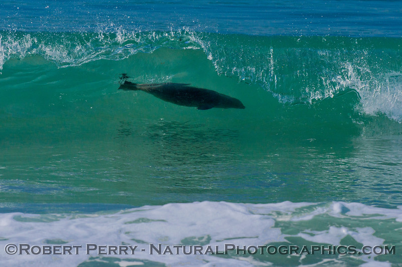 A chubby Pacific harbor seal (<em>Phoca vitulina</em>) ducks uner a clear turquoise wave.
