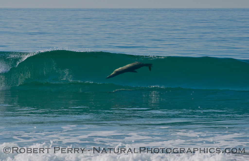 A California sea lion (<em>Zalophus californianus</em>) surfing a glassy wave.