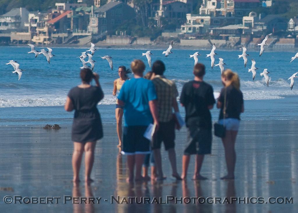 Malibu High Biology students and Elegant Terns (Sterna elegans).
